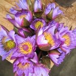 Lifestyle Retreat Sri Lanka Achtsamkeit und Wellness Waterlilies