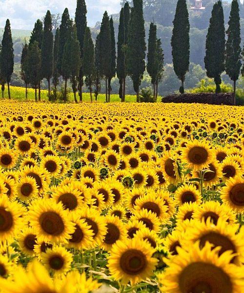 Klosterreisen_Toskana_Sonnenblumen_kl