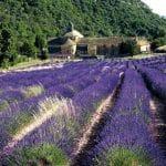 Klosterreisen, Frankreich, Provence, wunderschoener lila leuchtender Lavendel vor altem Kloster