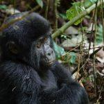Klosterreisen Uganda Rundreise Schimpanse und Gorilla Trekking